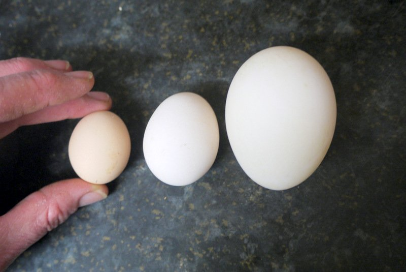 who laid which egg?